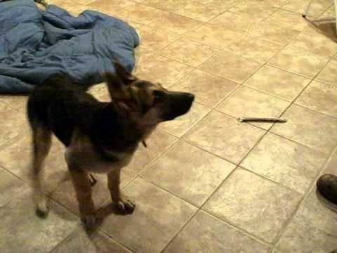 German Shepherd Puppy Performs Tricks