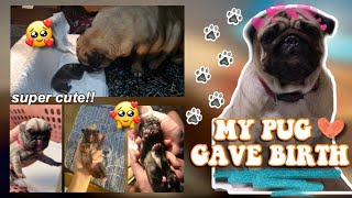 OUR PUG GAVE BIRTH ❤ | Philippines