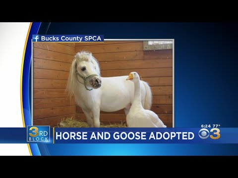 Good News WSRZ-FM - Mini Horse and Best Friend Goose Get Rescued and Adopted Together