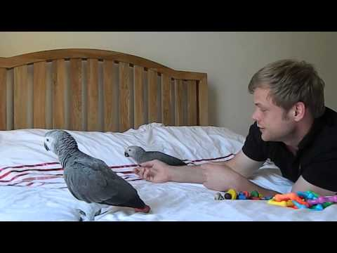Our 9 week old African Grey Parrots.