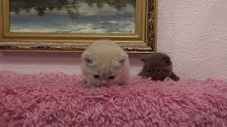 Британские котятки.Мальчик и девочка