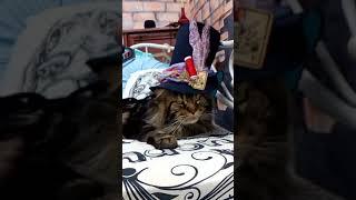 Безумный Шляпник или Кот в сапогах? / Морда на выезде/ питомник мейн-кунов Лирикум