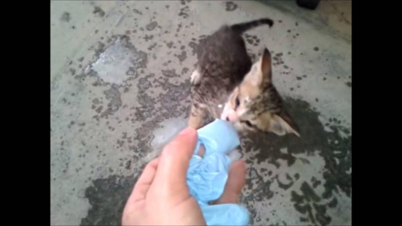 3 week old desert base kitten drinks milk from rubber glove