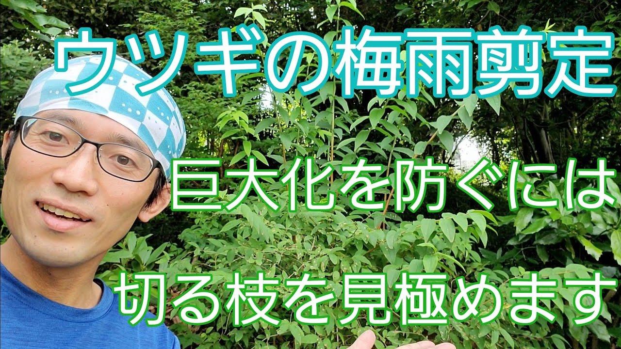 【ウツギ(卯の花)の剪定】巨大化を予防するためには、切る枝を見極めることが大切☝️👀