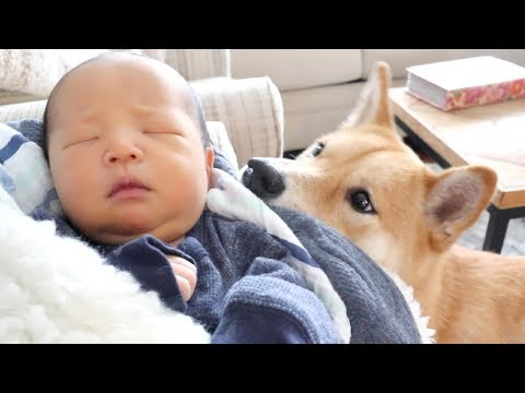 Shiba Dog Meets Baby Brother!