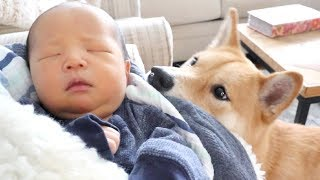 Shiba Dog Meets Baby Brother!