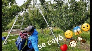 SE CAE POR ACCIDENTE 😱😐 Cosecha de manzana roja, RED DELICIOUS APPLE HARVEST