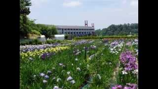 北潟花菖蒲園,Iris ensata var. ensata