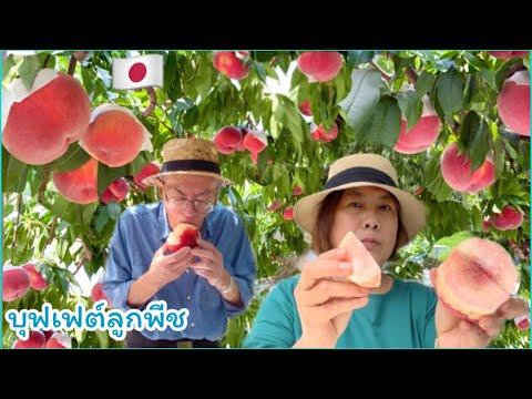 🇯🇵🍑กินบุฟเฟ่ต์ลูกพีชญี่ปุ่นในสวน ดกมาก หวานฉ่ำสะใจ❤️🍑  Japanese Peach 🍑🇯🇵