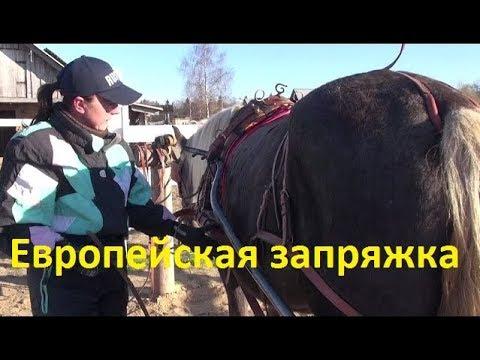 Как запрягают пони в шлею видео