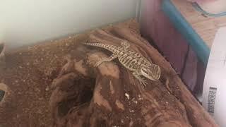 Как и чем кормить ящерицу   !       Интересное  и Познавательное видео          Часть 2