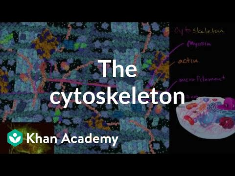The cytoskeleton   Structure of a cell   Biology   Khan Academy