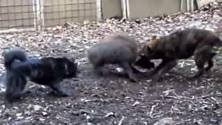 赤熊王と山牙狼の猪犬訓練所にて 初めての実戦訓練 赤熊1歳 山牙6ヶ月.