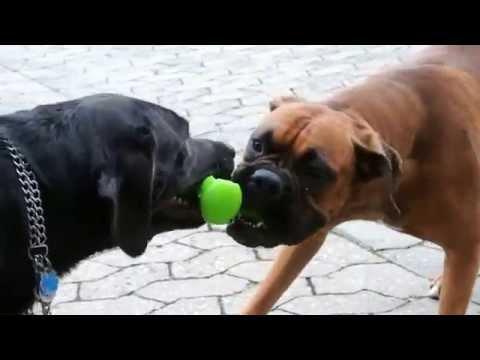 THE DOGS   PRETTY vs. NERO BOXER & LABRADOR