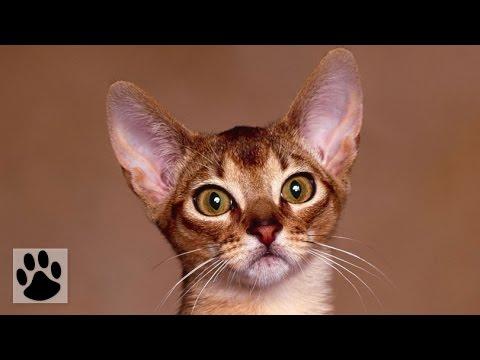 Породы кошек - Абиссинская кошка. [Abyssinian (Cat Breed)]
