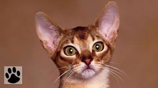 Породы кошек - Абиссинская кошка. [Abyssinian (Cat Breed)](Породы кошек - Абиссинская кошка. [Abyssinian (Cat Breed)] . Подписывайтесь на новые обзоры пород на нашем канале: http://www..., 2014-09-01T12:49:19.000Z)