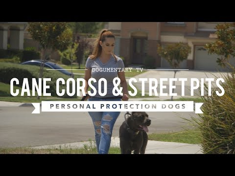 CANE CORSO & STREET PITS AS PROTECTION DOGS