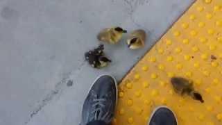 Baby Ducks Climbing Stairs