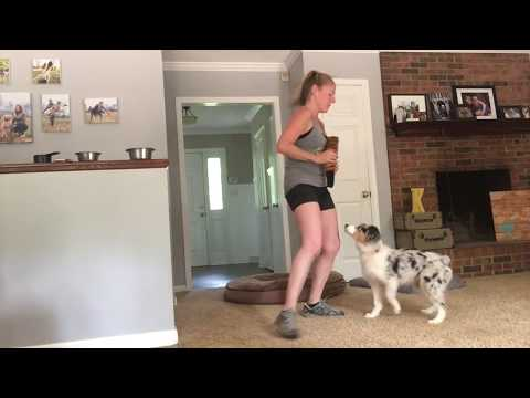 Blue Merle Australian Shepherd Lizzie Learns Tricks