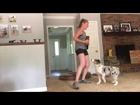 Blue Merle Australian Shepherd Lizzie Learns Tricks