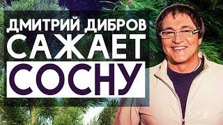 Как посадить сосну? Сажаем сосну с Дмитрием Дибровым.