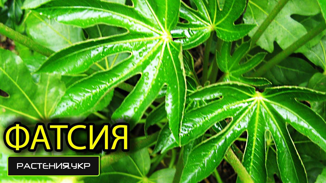 Фатсия  Fatsia фото условия выращивания уход и
