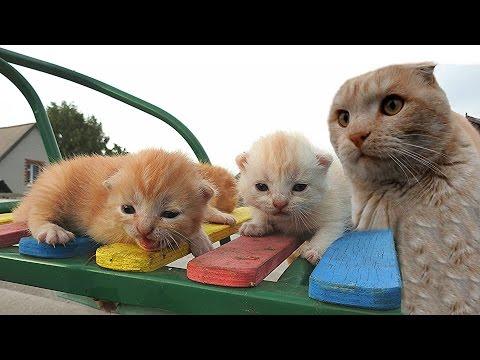 12+ Gift from Scottish fold cat Вислоухий гость ПОДАРОК от Вислоухого
