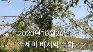 천연수세미 20년10월26일  마직막 수확