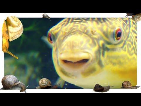 ADDING 100's OF SNAILS!!! MBU Puffer Pigging Out On Snails