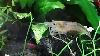 Креветки амано, вишни и улитки мелании в моем аквариуме