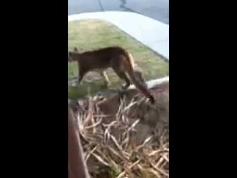 Siskiyou County Mountain Lion