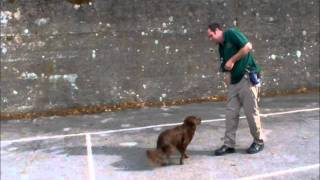 Canine Coaching Basic Obedience Featuring Paul Daly