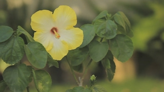 how to grow and care for hibiscus plants urdu hindi