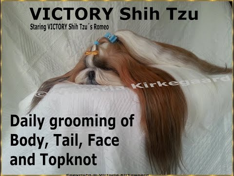 VICTORY Shih Tzu, Daily grooming of Body, Tail, Face & Topknot