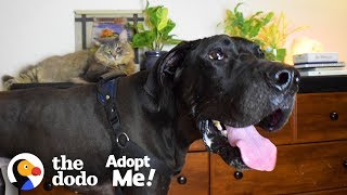 Wobbly 120-Pound Great Dane is Such a Love Bug  | The Dodo Adopt Me!