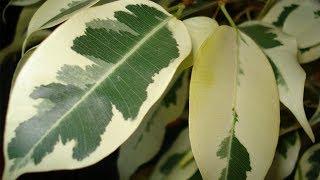 Размножение фикуса / Ficus propagation(Не забывайте подписываться на наш канал! (Subscribe!) http://www.youtube.com/user/FloraSad?sub_confirmation=1 Каждую неделю - новое видео...., 2014-05-18T05:01:55.000Z)