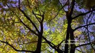 Gymnocladus dioica video