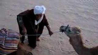 tunisia, fighting dromedary or maybe camel,-