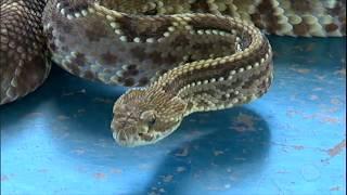 Cidades próximas ao rio Paraguai sofrem com invasão de cobras