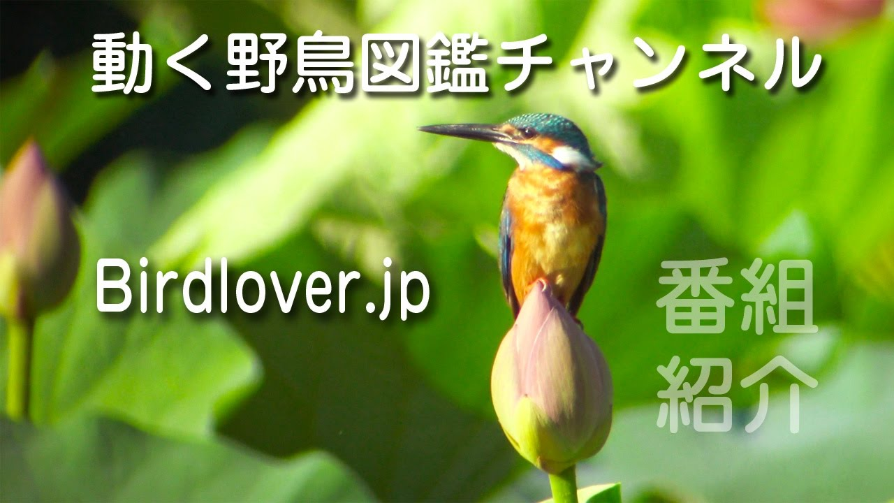 野鳥撮影・ 野鳥動画 Birdloverjp チャンネル紹介・野鳥観察・野鳥撮影・バードウォッチング
