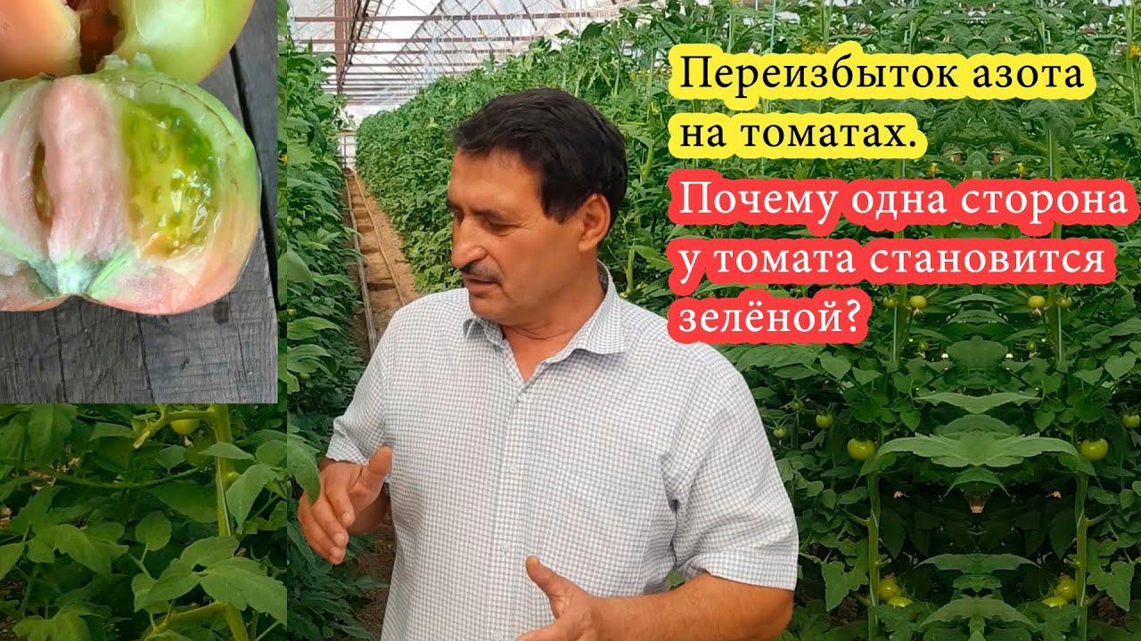 Переизбыток азота на томатах. Почему одна сторона у томата становится зелёной?