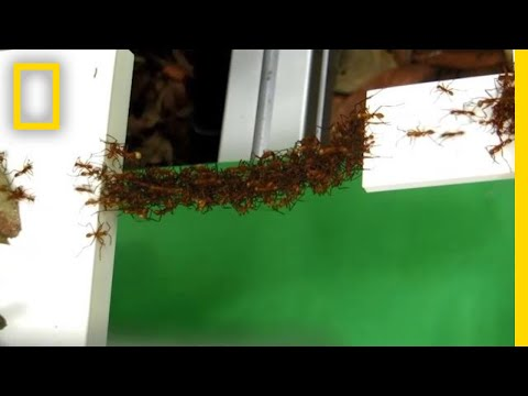 See How Ants Build Bridges in Mid-Air With Just Their Bodies | National Geographic
