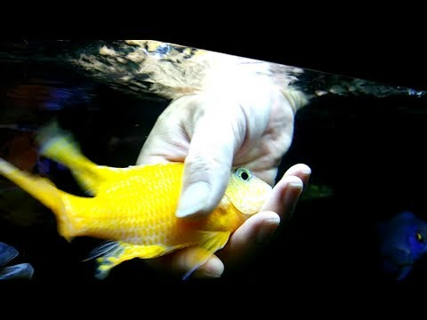 African Cichlid | Play with Fish | Malawi Tank