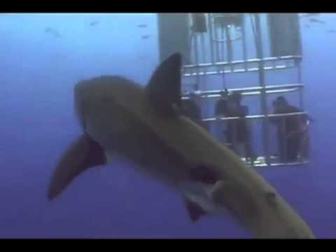 Great White Shark Gets Explosive Diarrhea.