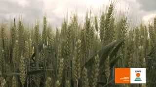 KWS BASMATI - sorta ozime pšenice