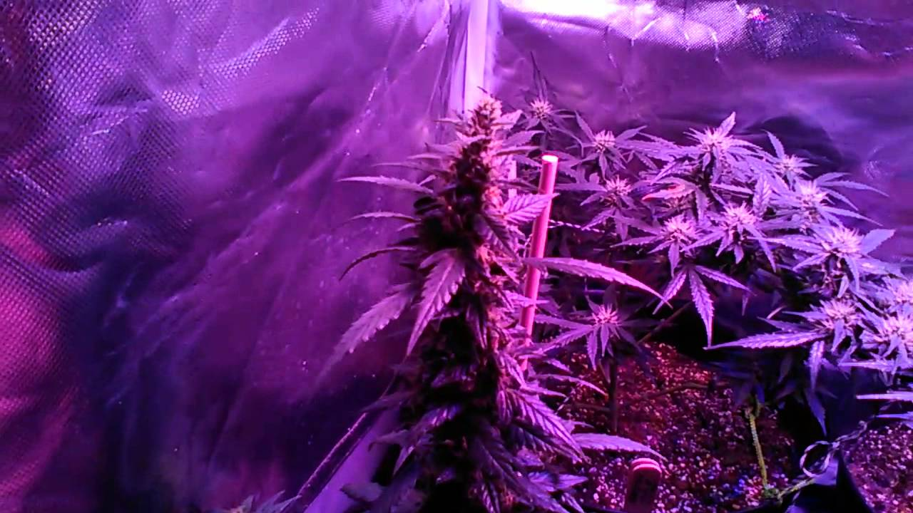 First grow northern lights autoflowering feminized