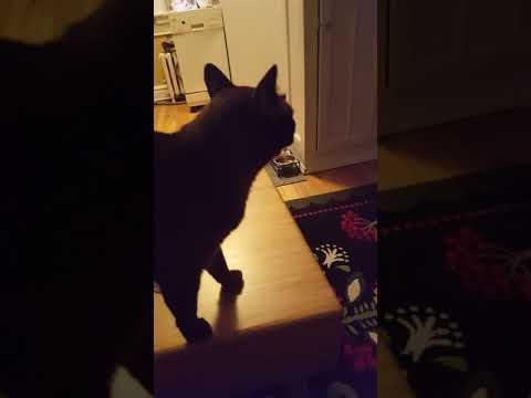 Burmese Cat Talking