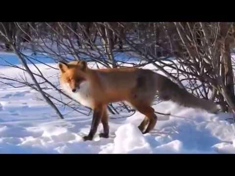 Fox vs dogs. Fox vs Doberman. Doberman attacks fox