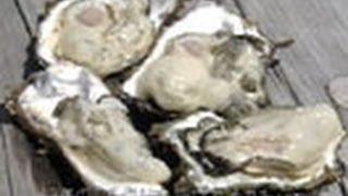 海からのおいしい贈り物 (1)カキの謎、ホタテ貝で育つ?-瀬戸内海・広島県-