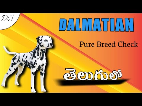How to identify Dalmatian Pure breed || Explained in Telugu || Dogs Channel Telugu ||